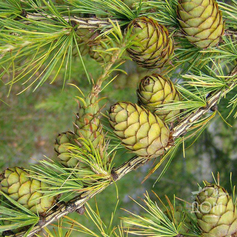 картинки лиственницы семена листья открытия