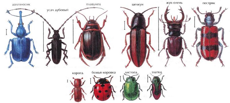 жуки в картинках с описанием и схемами