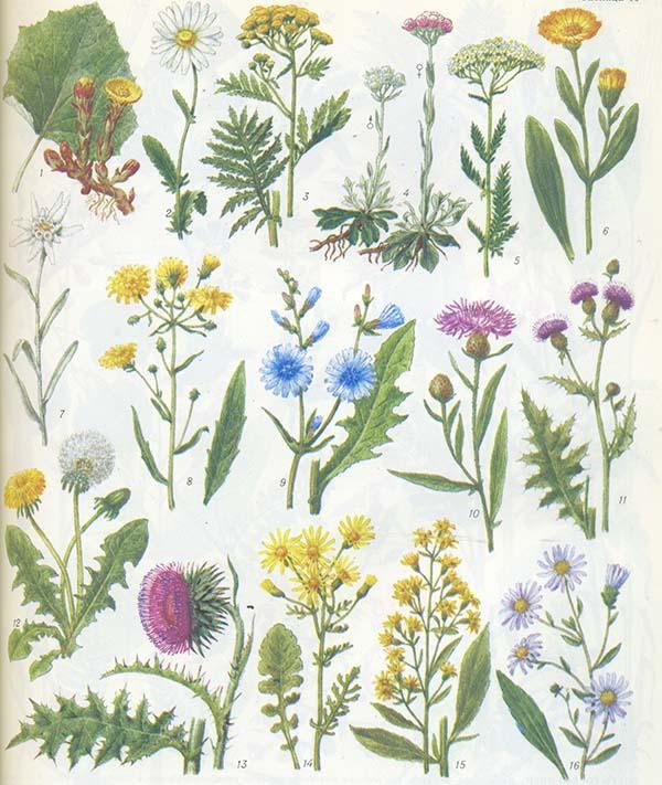 Полевые цветы с названиями картинки