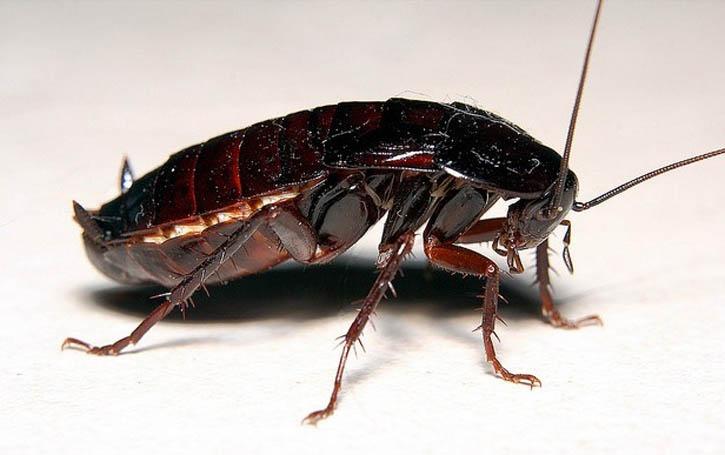 тараканы какой отряд