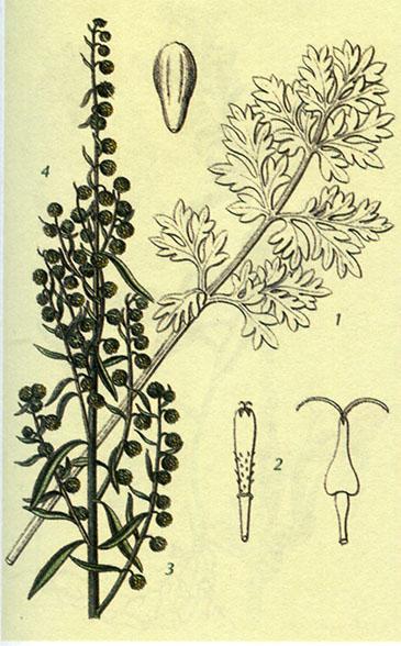 Полынь горькая Artemisia absinthium L.
