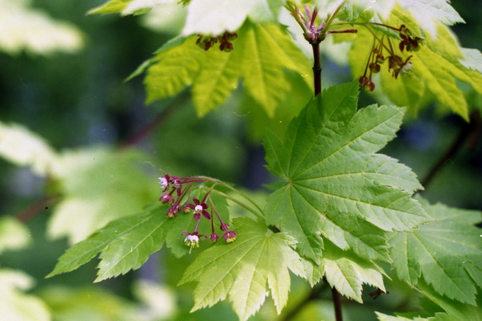 Acer circinatum Pursh. - Клен завитой