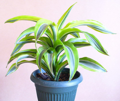 Dracaena fragrans Ker-Gawl. 'Lemon Lime' - Драцена душистая 'Лимон лайм'