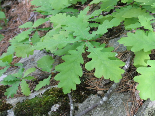 Дуб черешчатый (обыкновенный): описание его частей – листа, коры и ареала обитания дуба черешчатого
