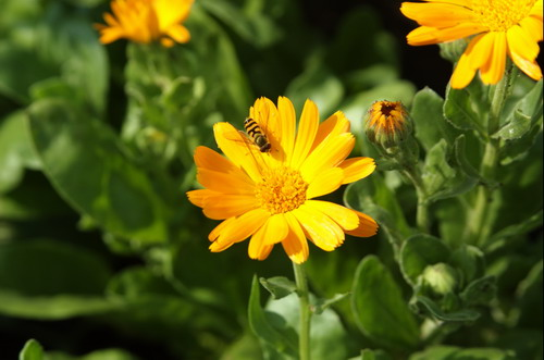 Ноготки - Calendula officinalis L.