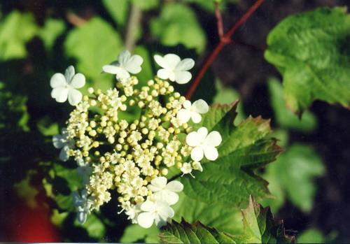 Калина обыкновенная - Viburnum opulus L.