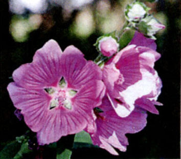 Алтей лекарственный Althaea officinalis L.